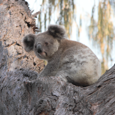 koala-search-team-bushfire-article